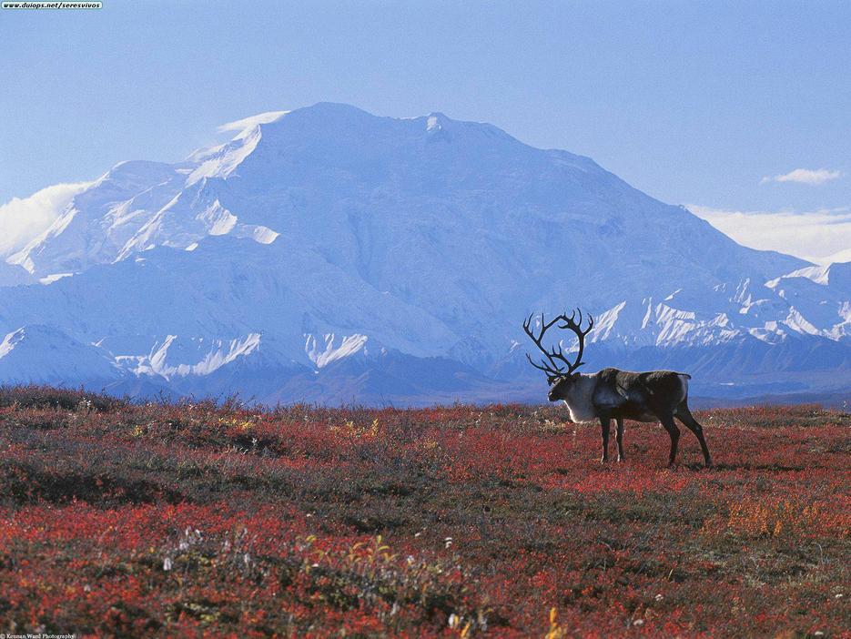 caribou_tundra